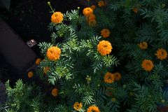 A picture of African Marigold Tagetes erecta royalty free stock photo