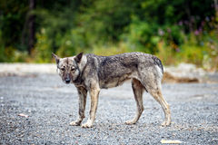 Picture of an aggressive dog Royalty Free Stock Photography