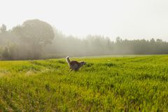 Portrait of Akita Inu in a green wheat field in summer royalty free stock photo