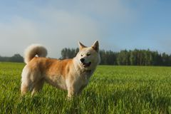 Portrait of Akita Inu in a green wheat field in summer stock images