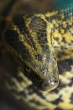 Anaconda Royalty Free Stock Photo