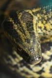 Anaconda. A picture of an anaconda snake royalty free stock photo