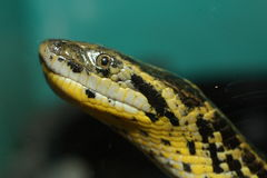 Anaconda. A picture of an anaconda snake Royalty Free Stock Images