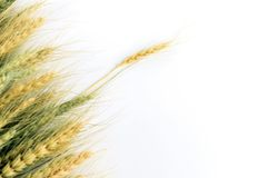 Picture of Article. Wheat sprouts stock images