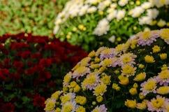 The art of Japanese chrysanthemum, Kyoto Japan. Stock Image