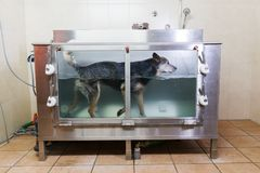Australian Cattledog in a hydrotherapy station Stock Image