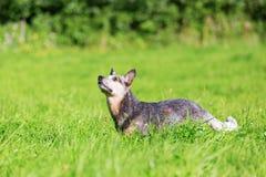 Australian cattledog on the meadow looks up Stock Photos