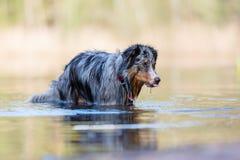 Australian Shepherd stands in a lake Stock Photo