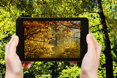 Picture of autumn woods during seasons changing. Nature concept - tourist photographs picture of autumn woods during summer and autumn seasons changing on tablet royalty free stock photography