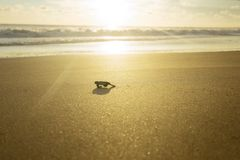 Baby turtle walking towards the ocean royalty free stock image