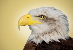 Bald eagle portrait Royalty Free Stock Photo