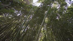 This is a picture of bamboo forest.