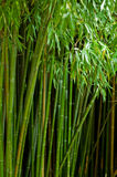 Picture of bamboo forest with shallow DOF Royalty Free Stock Image
