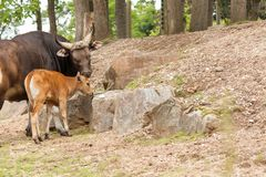 Banteng cow and her calf stock photo