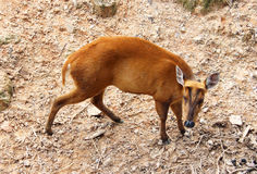 Picture of barking deer in Chiang Mai Zoo Royalty Free Stock Photo