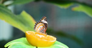 Picture of beautful colorful butterfly on lemon stock image