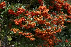 Red seeds of pyracantha coccinea. Picture of the beautiful autumn pyracantha coccinea royalty free stock photos