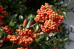 Red seeds of pyracantha coccinea. Picture of the beautiful autumn pyracantha coccinea stock image