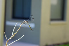 A picture of beautiful dragonfly Royalty Free Stock Photo
