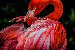 A beautiful flamingo royalty free stock image