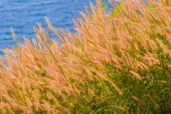 Beautiful Gramineae Grass with Blue Sea Background. Picture of Beautiful Gramineae Grass with Blue Sea Background. Wallpapers For Green Gramineae Wallpapers Stock Photography