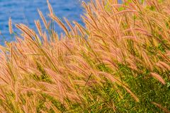 Beautiful Gramineae Grass with Blue Sea Background. Picture of Beautiful Gramineae Grass with Blue Sea Background. Wallpapers For Green Gramineae Wallpapers Royalty Free Stock Photo