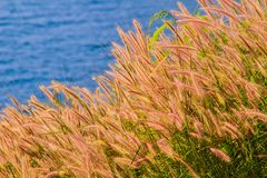 Beautiful Gramineae Grass with Blue Sea Background. Picture of Beautiful Gramineae Grass with Blue Sea Background. Wallpapers For Green Gramineae Wallpapers Stock Images