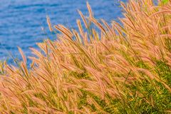 Beautiful Gramineae Grass with Blue Sea Background. Picture of Beautiful Gramineae Grass with Blue Sea Background. Wallpapers For Green Gramineae Wallpapers Stock Image
