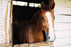 Picture of beautiful horse looking through window royalty free stock photos