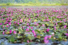 Picture of beautiful  lotus flower Stock Photography
