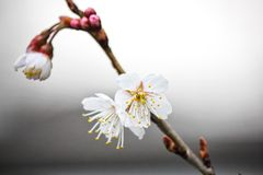 Beautiful mini white flowers. Picture of beautiful mini white flowers newly bloom blossom at spring in japan stock images