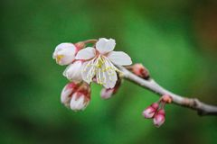 Beautiful mini white flowers. Picture of beautiful mini white flowers newly bloom blossom at spring in japan royalty free stock images