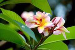 Pink frangipani flowers. Picture of beautiful pink frangipani flowers Royalty Free Stock Image
