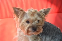 Picture of a beautiful purebred dog breed Yorkshire Terrier. Made in studio Royalty Free Stock Images