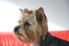 Picture of a beautiful purebred dog breed Yorkshire Terrier. Made in studio Royalty Free Stock Photography