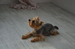 Picture of a beautiful purebred dog breed Yorkshire Terrier. Made in studio Stock Photos