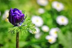 Beautiful purple flower bud. Picture of beautiful purple flower bud that has not completely bloomed blossom in the garden at spring in japan royalty free stock image