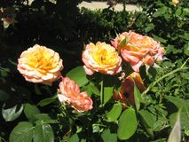 Salmon colored roses Royalty Free Stock Images