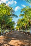Picture of beautiful tropical alley of coconut trees. Stock Photography