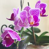 Orchids. Picture of beautiful violet orchid stock photos