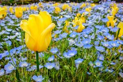 Picture of beautiful yellow tulip around mini blue flowers and green leaves. Picture beautiful yellow tulip around mini blue flowers anf green leaves stock photos