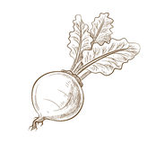 Picture of beet with leaves. Vector vintage hand drawn picture of beet with leaves Royalty Free Stock Photos