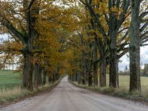 Picture of a big and old tree alley. Big and old tree alley with road, autumn colors, Latvia royalty free stock images