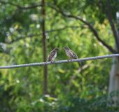 A pair of Sparrow is sitting on a wire royalty free stock image