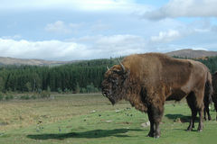 A picture of a bison in a Scottish safari park, Royalty Free Stock Photos