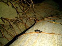 A picture of black ant royalty free stock photography