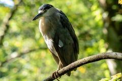 Black crowned night heron royalty free stock images
