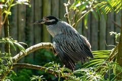 Black crowned night heron stock photos