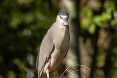 Black crowned night heron royalty free stock image