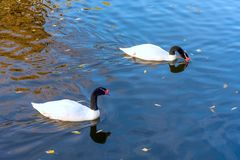 A picture of 2 Black Necked Swans. Black necked swans mirrored i royalty free stock image